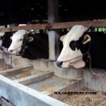 jual kandang sapi