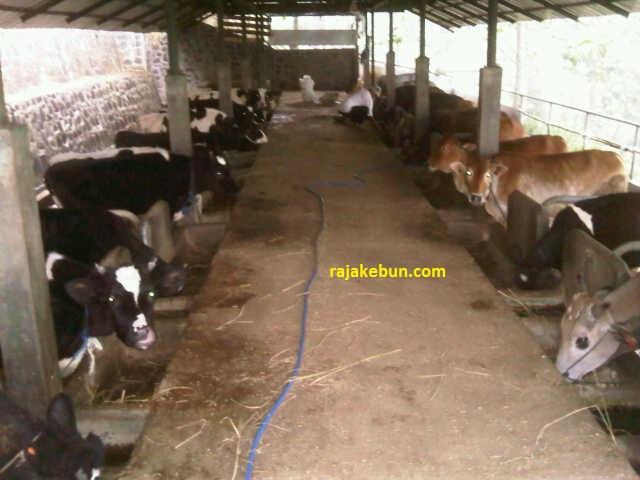kandang sapi dijual di bandung