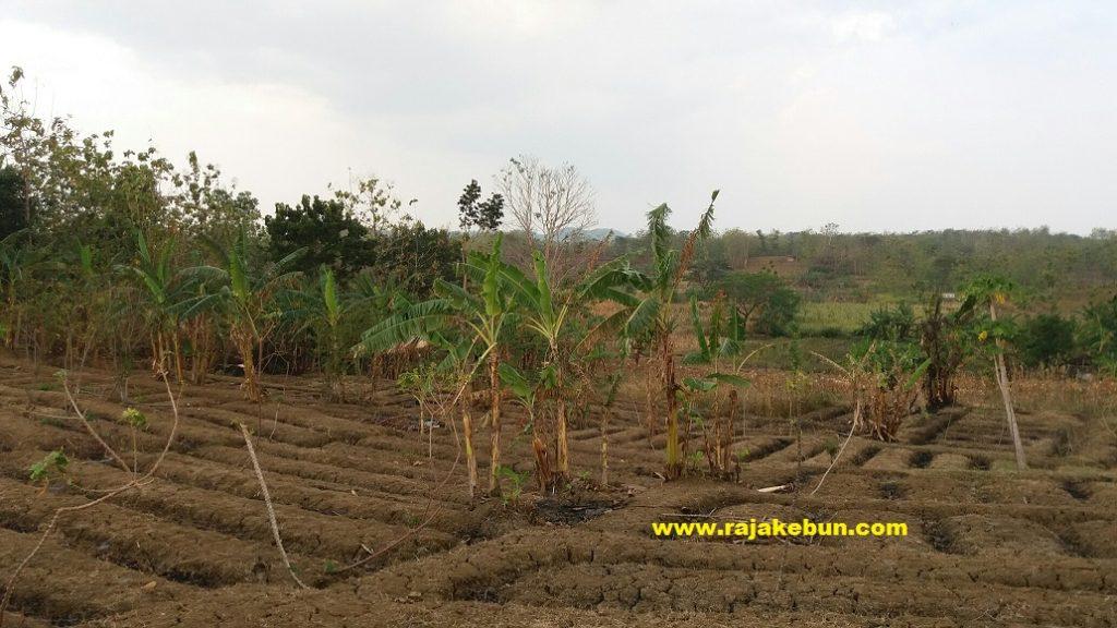 jual tanah kebun di brebes
